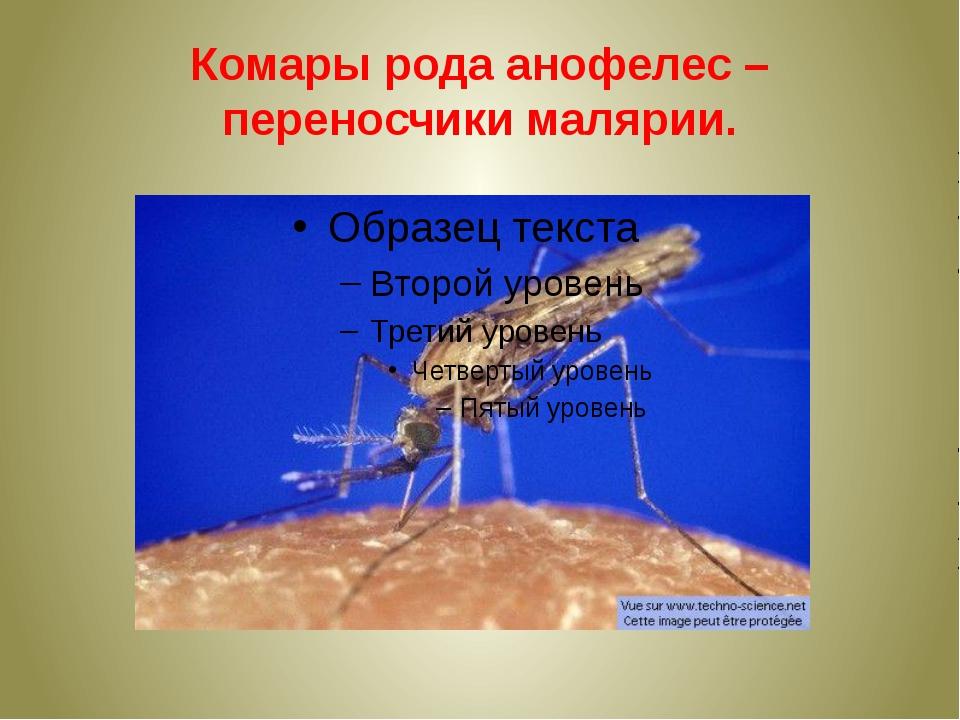 Комары рода анофелес – переносчики малярии.