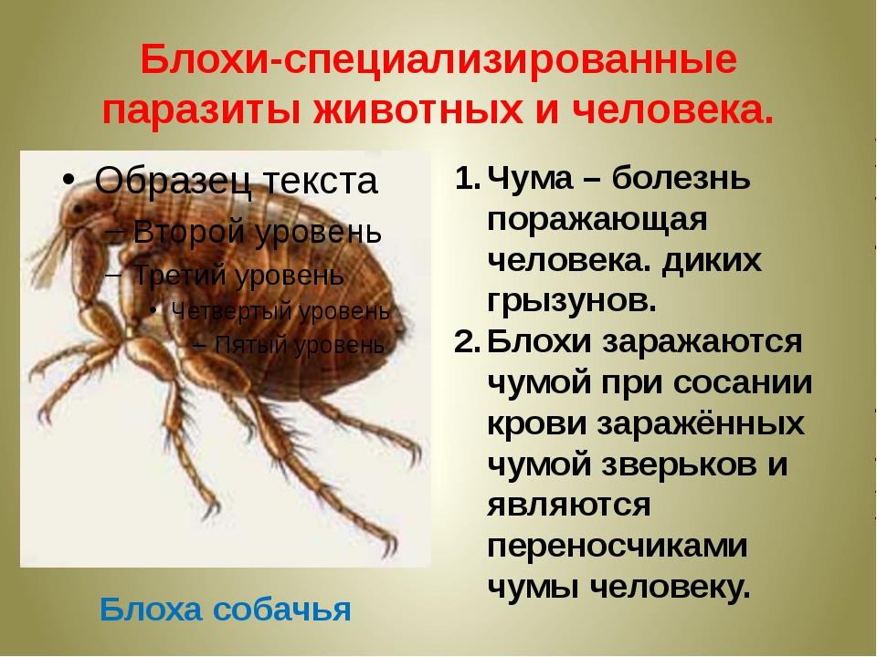 Блохи-специализированные паразиты животных и человека. Блоха собачья Чума – б...