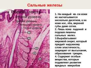 Сальные железы 1. На каждый кв. см кожи их насчитывается несколько десятков,