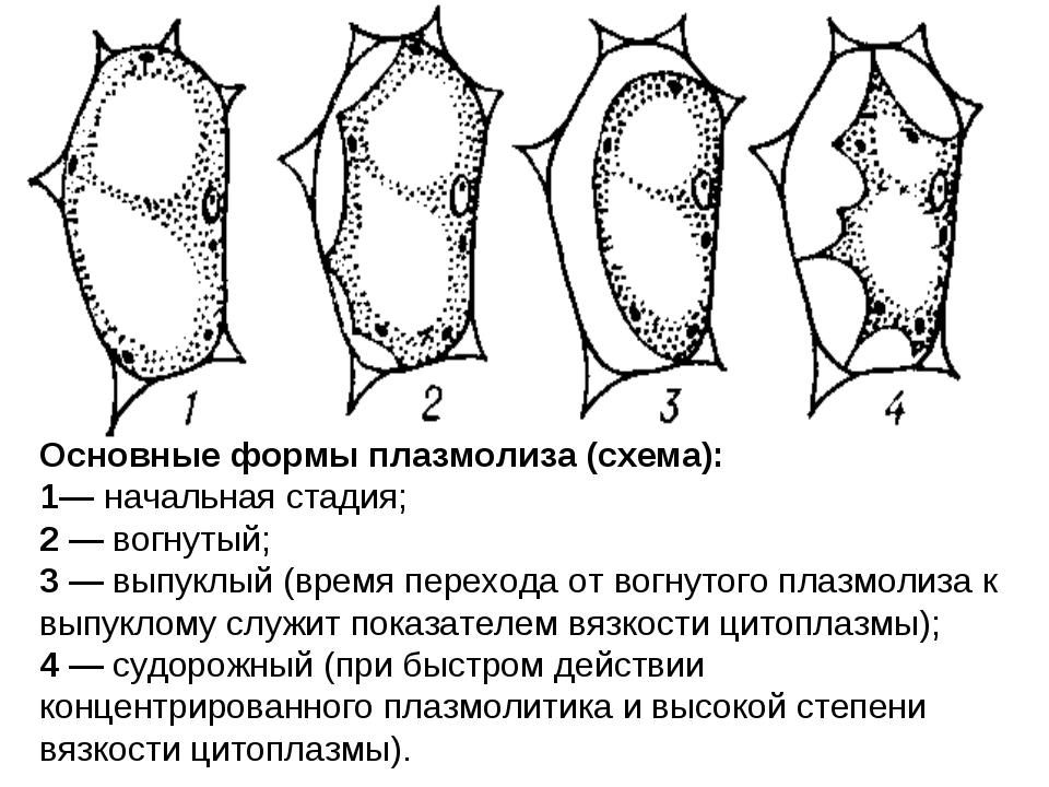Основные формы плазмолиза (схема): 1— начальная стадия; 2 — вогнутый; 3 — вып...
