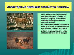Характерные признаки семейства Кошачьи Кошачьи(рыси, тигры, леопарды, пантеры