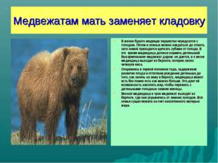 Медвежатам мать заменяет кладовку В жизни бурого медведя пиршества чередуются