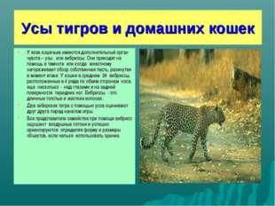 Усы тигров и домашних кошек У всех кошачьих имеются дополнительный орган чувс