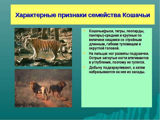 Характерные признаки семейства Кошачьи Кошачьи(рыси, тигры, леопарды, пантеры...