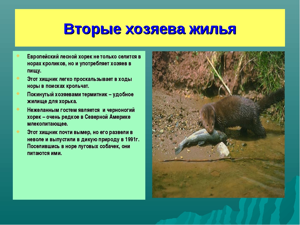 Вторые хозяева жилья Европейский лесной хорек не только селится в норах кроли...