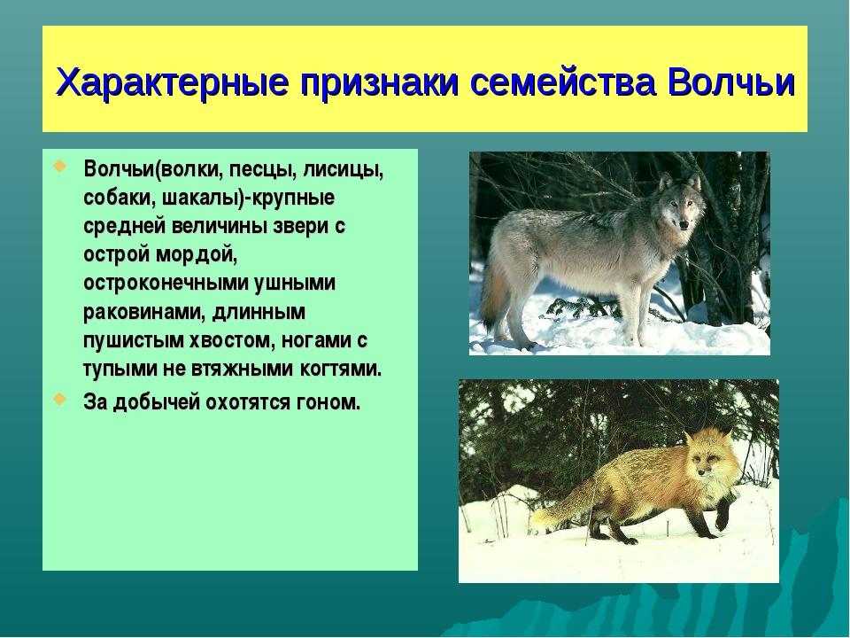 Характерные признаки семейства Волчьи Волчьи(волки, песцы, лисицы, собаки, ша...