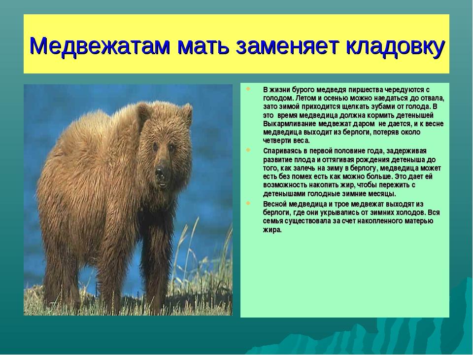 Медвежатам мать заменяет кладовку В жизни бурого медведя пиршества чередуются...