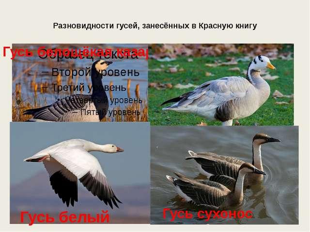 Разновидности гусей, занесённых в Красную книгу Гусь белощёкая казарка Горный...