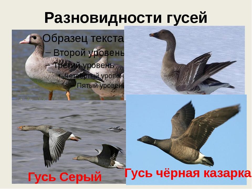 Разновидности гусей Гусь белолобый Гусь гуменник Гусь Серый Гусь чёрная казарка