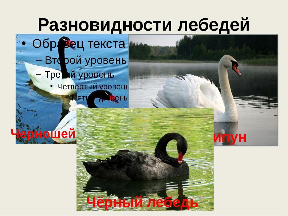 Разновидности лебедей Черношейный лебедь Лебедь шипун Чёрный лебедь