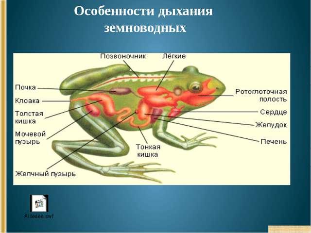 Особенности дыхания земноводных