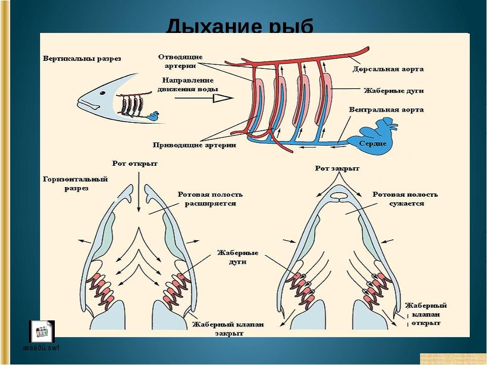 Дыхание рыб