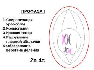 ПРОФАЗА I Спирализация хромосом Коньюгация Кроссинговер Разрушение ядерной об