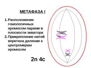 МЕТАФАЗА I Расположение гомологичных хромосом парами в плоскости экватора При