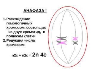 АНАФАЗА I Расхождение гомологичных хромосом, состоящих из двух хроматид, к по