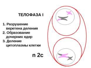 ТЕЛОФАЗА I 1. Разрушение веретена деления 2. Образование дочерних ядер 3. Дел