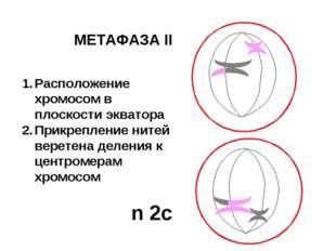 МЕТАФАЗА II Расположение хромосом в плоскости экватора Прикрепление нитей вер