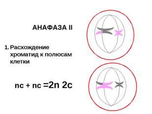 АНАФАЗА II Расхождение хроматид к полюсам клетки nс + nс =2n 2c