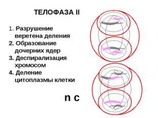 ТЕЛОФАЗА II 1. Разрушение веретена деления 2. Образование дочерних ядер 3. Де
