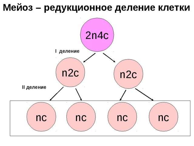 2n4с n2с nс nс n2с nс nс I деление II деление Мейоз – редукционное деление кл...
