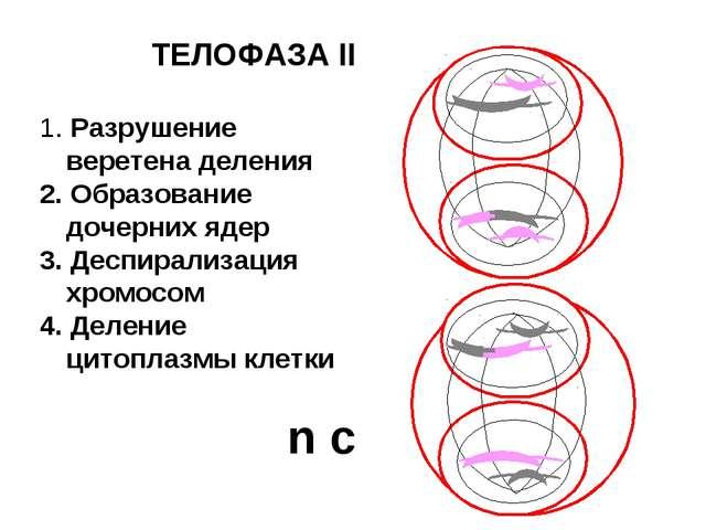 ТЕЛОФАЗА II 1. Разрушение веретена деления 2. Образование дочерних ядер 3. Де...