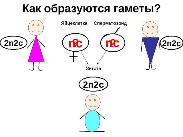 Как образуются гаметы? ? 2n2c 2n2c 2n2c ? Яйцеклетка Сперматозоид nc nc Зигота