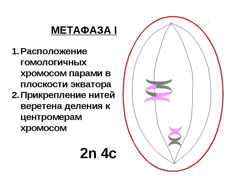 МЕТАФАЗА I Расположение гомологичных хромосом парами в плоскости экватора При...