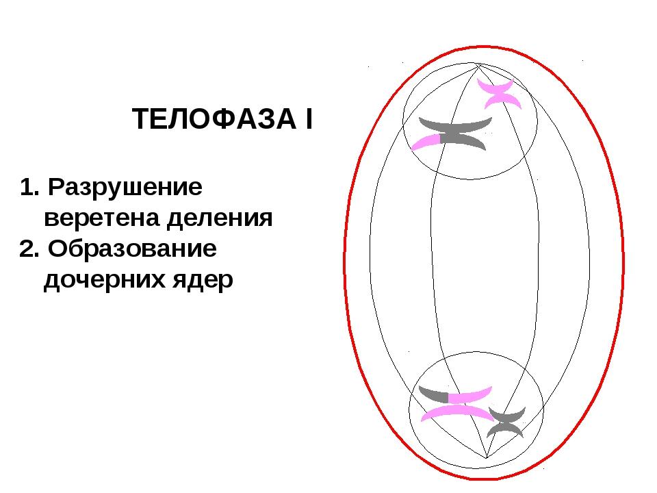 ТЕЛОФАЗА I 1. Разрушение веретена деления 2. Образование дочерних ядер