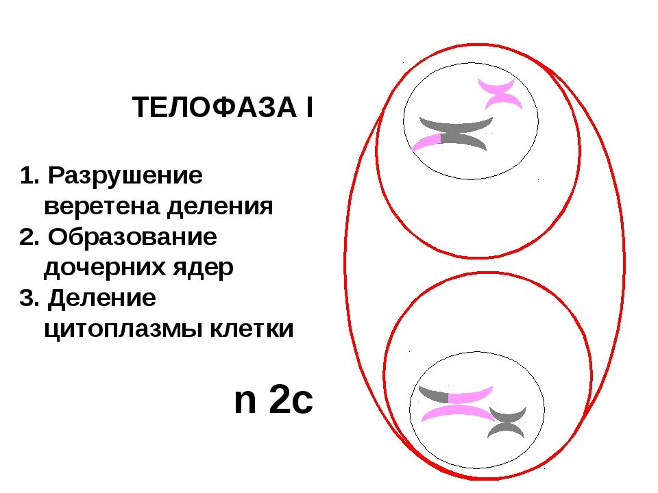 ТЕЛОФАЗА I 1. Разрушение веретена деления 2. Образование дочерних ядер 3. Дел...
