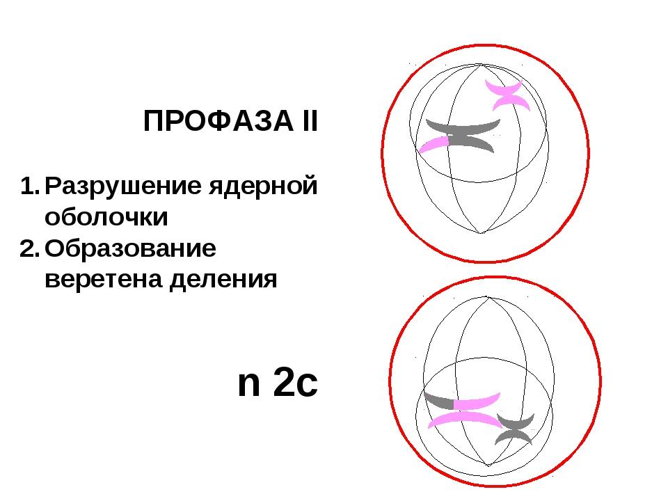 ПРОФАЗА II Разрушение ядерной оболочки Образование веретена деления n 2c