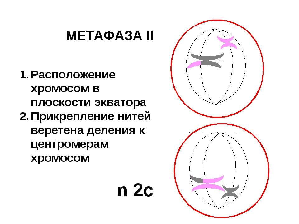 МЕТАФАЗА II Расположение хромосом в плоскости экватора Прикрепление нитей вер...