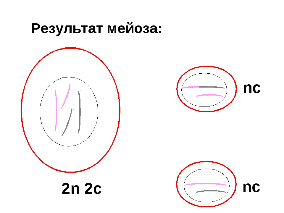 Результат мейоза: 2n 2c nc nc