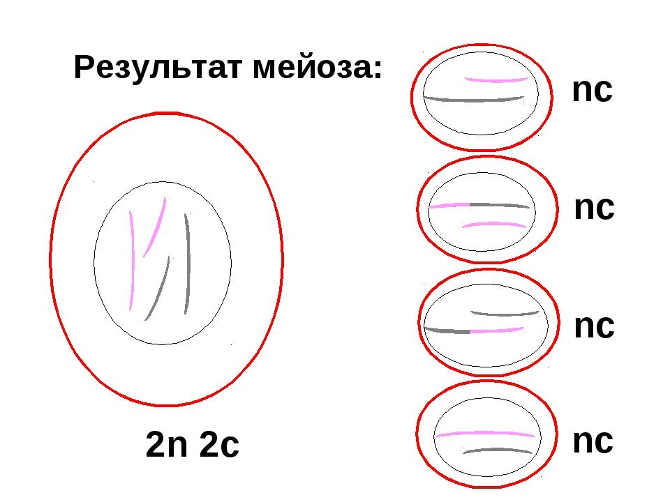 Результат мейоза: 2n 2c nc nc nc nc