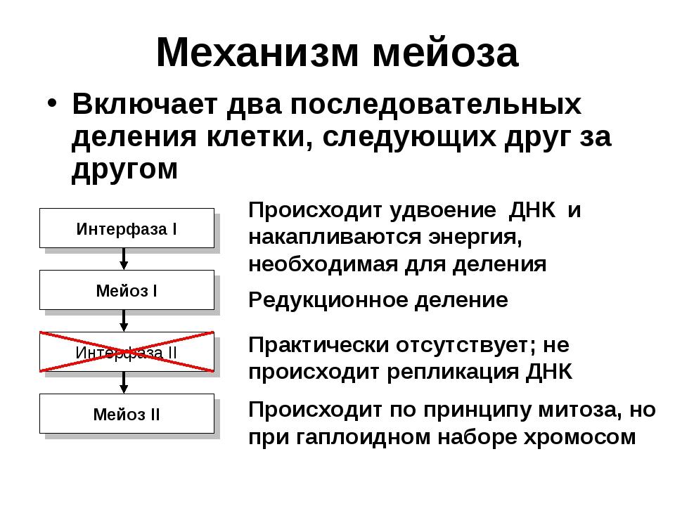Механизм мейоза Включает два последовательных деления клетки, следующих друг...