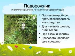 Подорожник многолетнее растение из семейства подорожниковых Противомикробное,