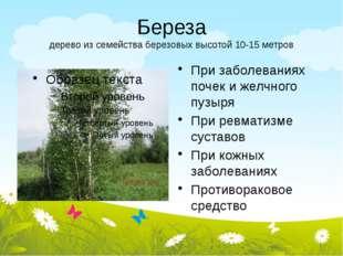 Береза дерево из семейства березовых высотой 10-15 метров При заболеваниях по