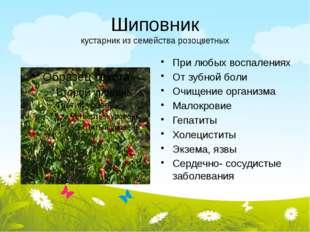 Шиповник кустарник из семейства розоцветных При любых воспалениях От зубной б