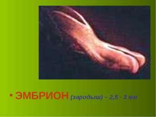 ЭМБРИОН (зародыш) – 2,5 - 3 мм