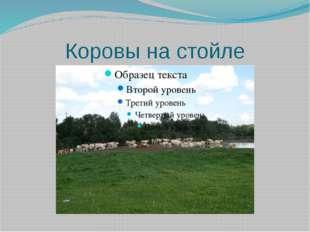 Коровы на стойле