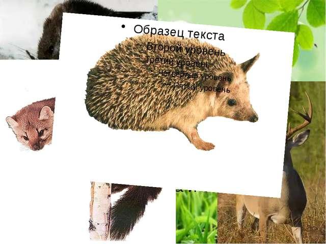 Также многочисленна группа западноевропейских видов, таких как выхухоль, лес...