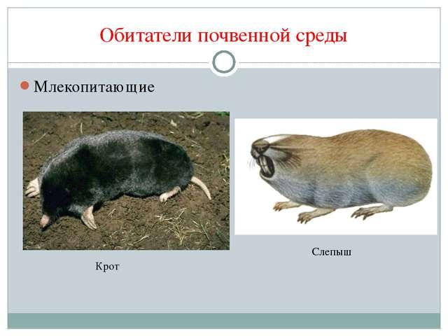 Обитатели почвенной среды Млекопитающие Крот Слепыш