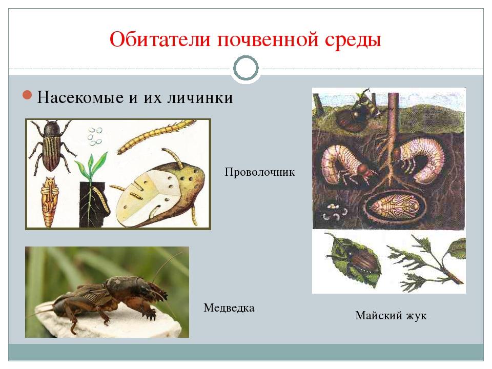 Обитатели почвенной среды Насекомые и их личинки Проволочник Майский жук Медв...