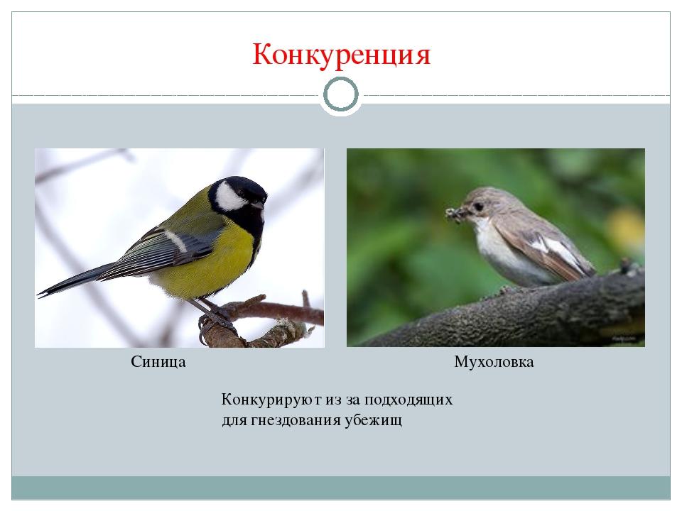 Конкуренция Конкурируют из за подходящих для гнездования убежищ Синица Мухоло...