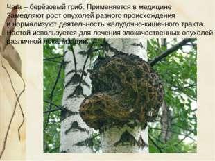Чага – берёзовый гриб. Применяется в медицине Замедляют рост опухолей разног