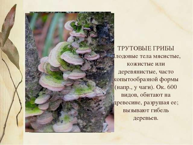 ТРУТОВЫЕ ГРИБЫ Плодовые тела мясистые, кожистые или деревянистые, часто копы...