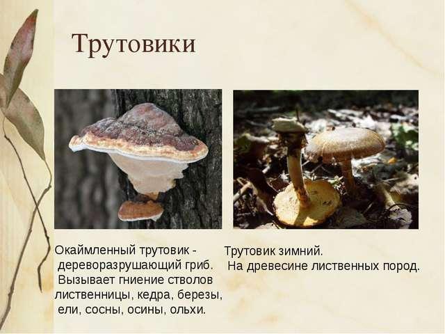 Трутовики Окаймленный трутовик - дереворазрушающий гриб. Вызывает гниение ст...