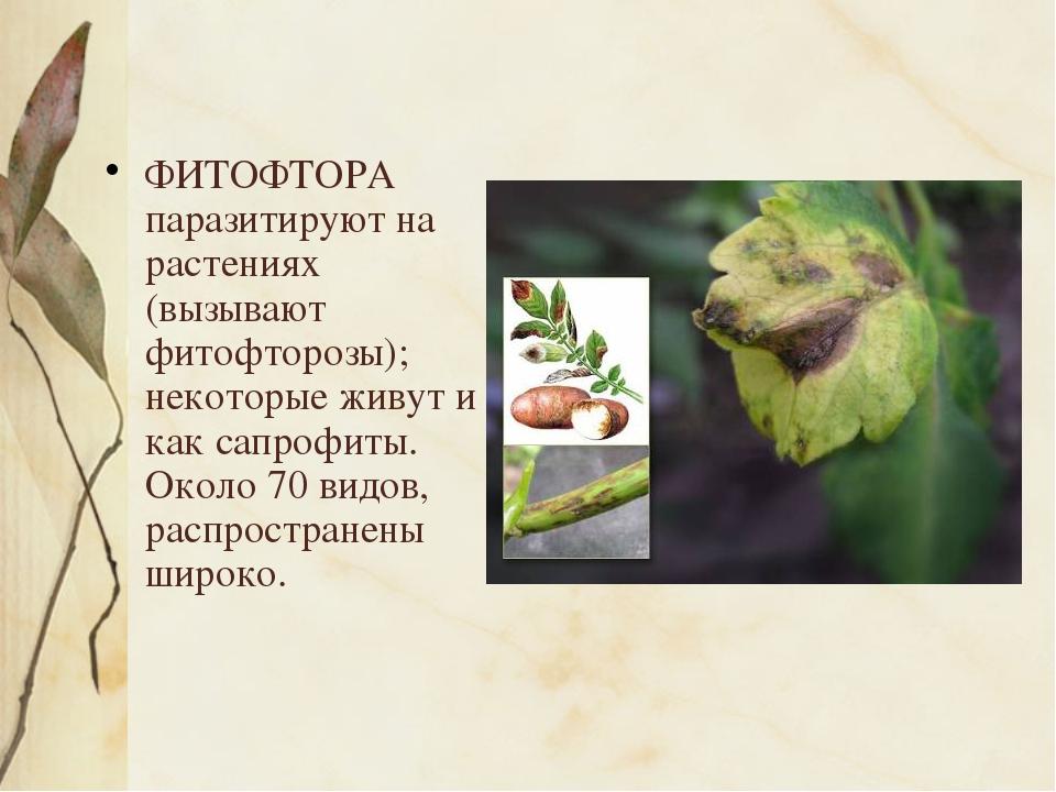 ФИТОФТОРА паразитируют на растениях (вызывают фитофторозы); некоторые живут...