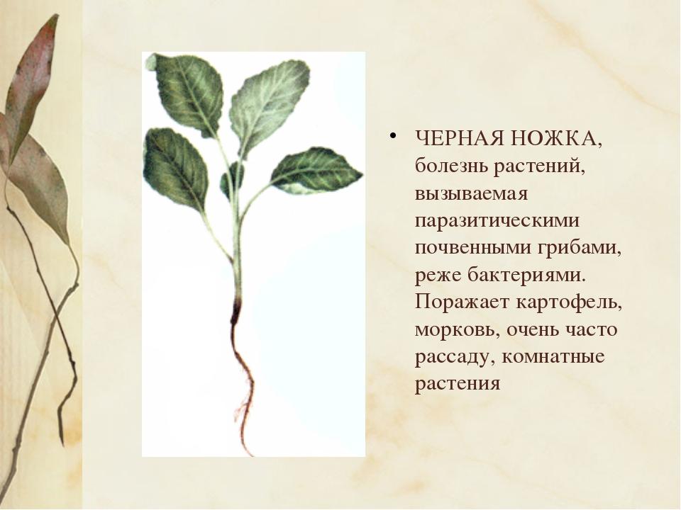 ЧЕРНАЯ НОЖКА, болезнь растений, вызываемая паразитическими почвенными грибам...