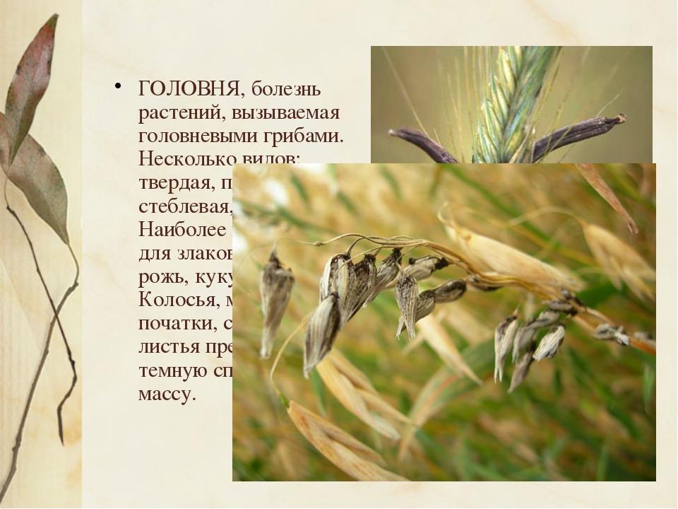 ГОЛОВНЯ, болезнь растений, вызываемая головневыми грибами. Несколько видов:...