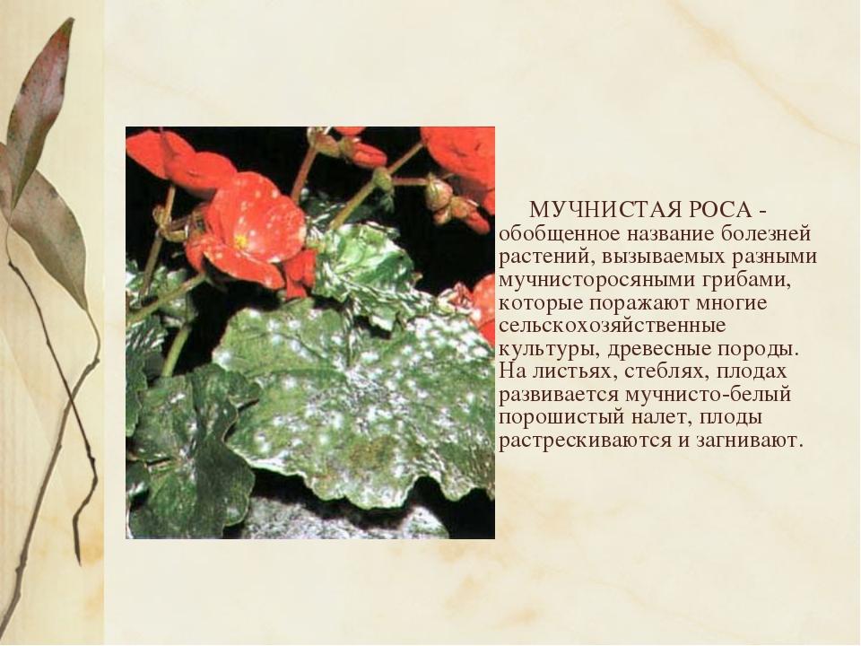 МУЧНИСТАЯ РОСА - обобщенное название болезней растений, вызываемых разными м...